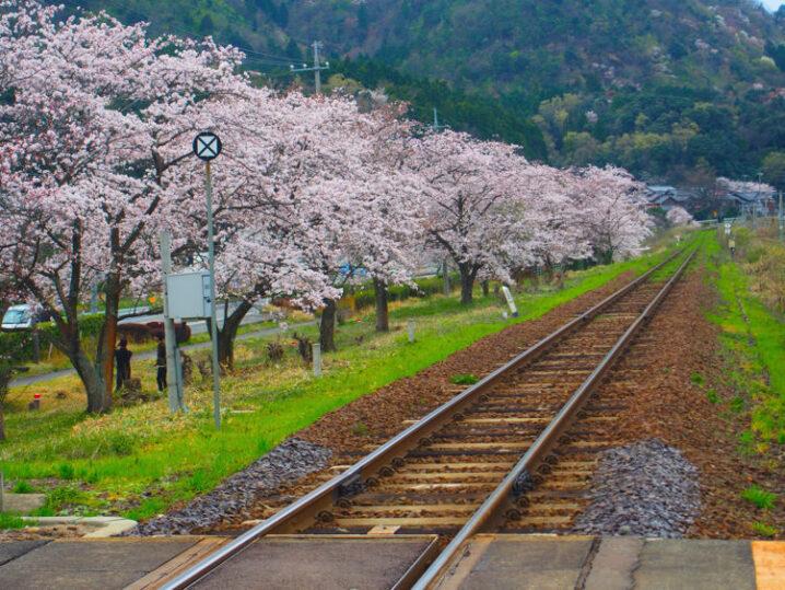 ooiwa-station-sakura12