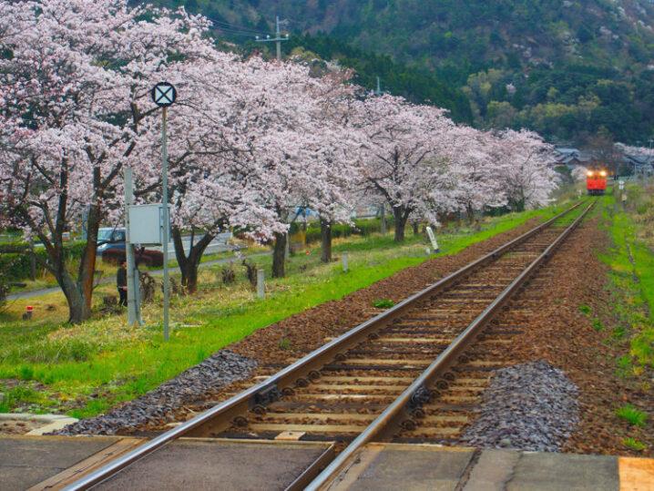 ooiwa-station-sakura13