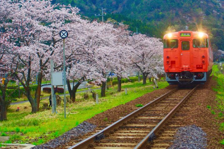 ooiwa-station-sakura14