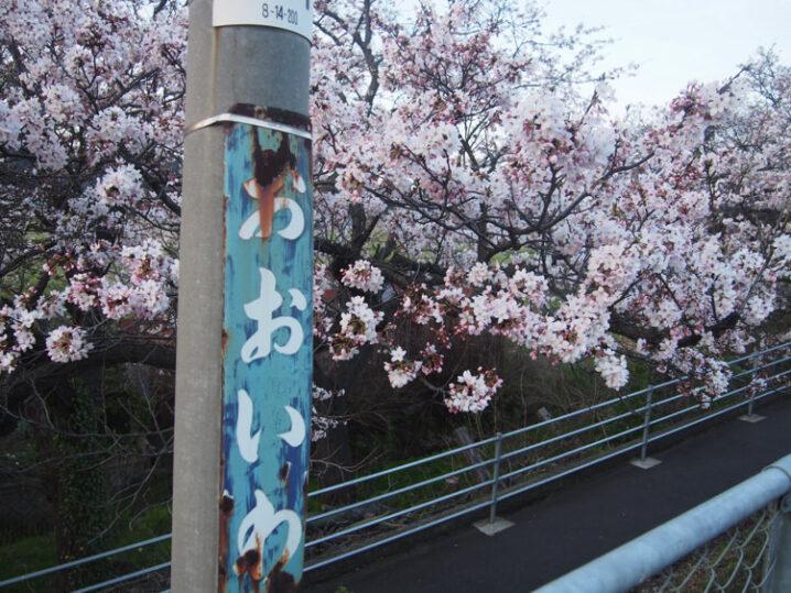 ooiwa-station-sakura2